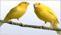 Alimentaçao Canarios